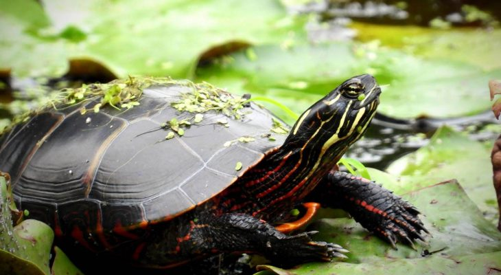 Selecting A Family Pet Turtle